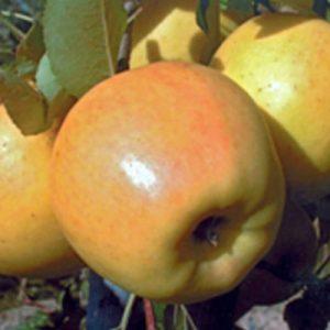 pomme-bio-opal-ariege