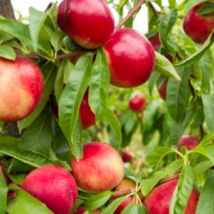 nectarine-agriculture-raisonnee-ariege-herault-aude