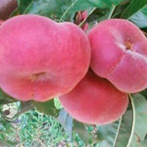 peches-plates-agriculture-raisonnee-ariege-aude-herault