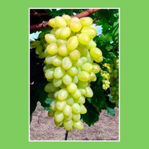 raisin-blanc-centennial-agriculture-raisonnee-ariege-fruits-de-la-plume