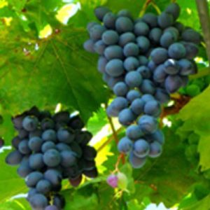 raisin-de-table-muscat-de-hambourg-agriculture-raisonnee-ariege
